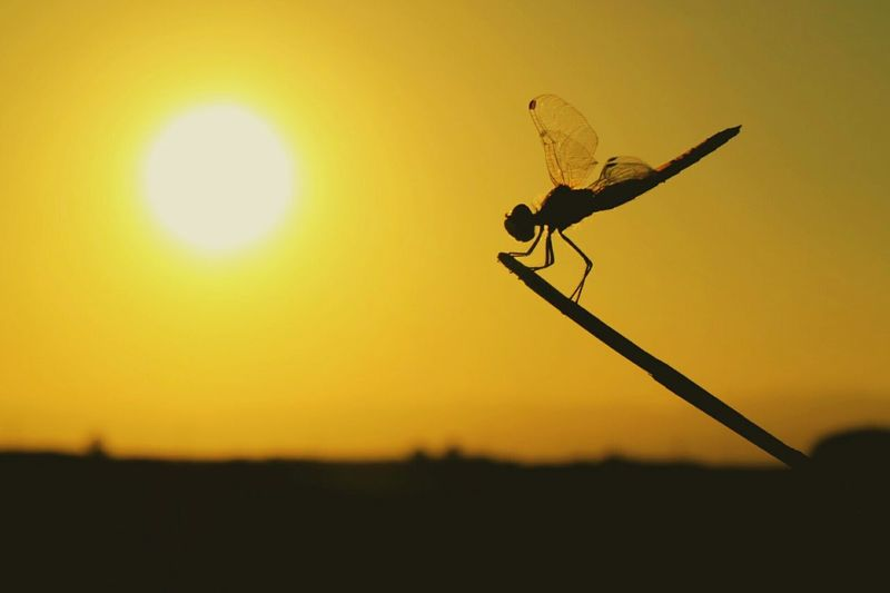 Check This Out Insect Photography Dragonfly Sunset Silhouettes Sunset Sunset Colors Eye4photography  EyeEm Best Shots EyeEm Nature Lover EyeEm Best Shots - Nature EyeEm Gallery EyeEm Nature Collection Sunsetporn Sunset_collection Sunset Colours Dragonflies Sun_collection Sun Colours Backlighting Silhouette First Eyeem PhotoSilhouettes Silouette & Sky 43 Golden Moments Place Of Heart Pet Portraits Paint The Town Yellow