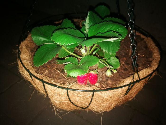my first strawberries Strawberries Freshness Nature