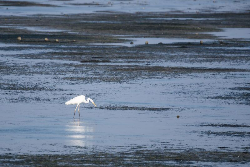 Nordfriesland Germany Schleswig-Holstein Wattenmeer Silberreiher Water Animals In The Wild Animal Wildlife Animal Animal Themes Vertebrate One Animal Bird Reflection Lake Egret Beauty In Nature Nature Great Egret No People