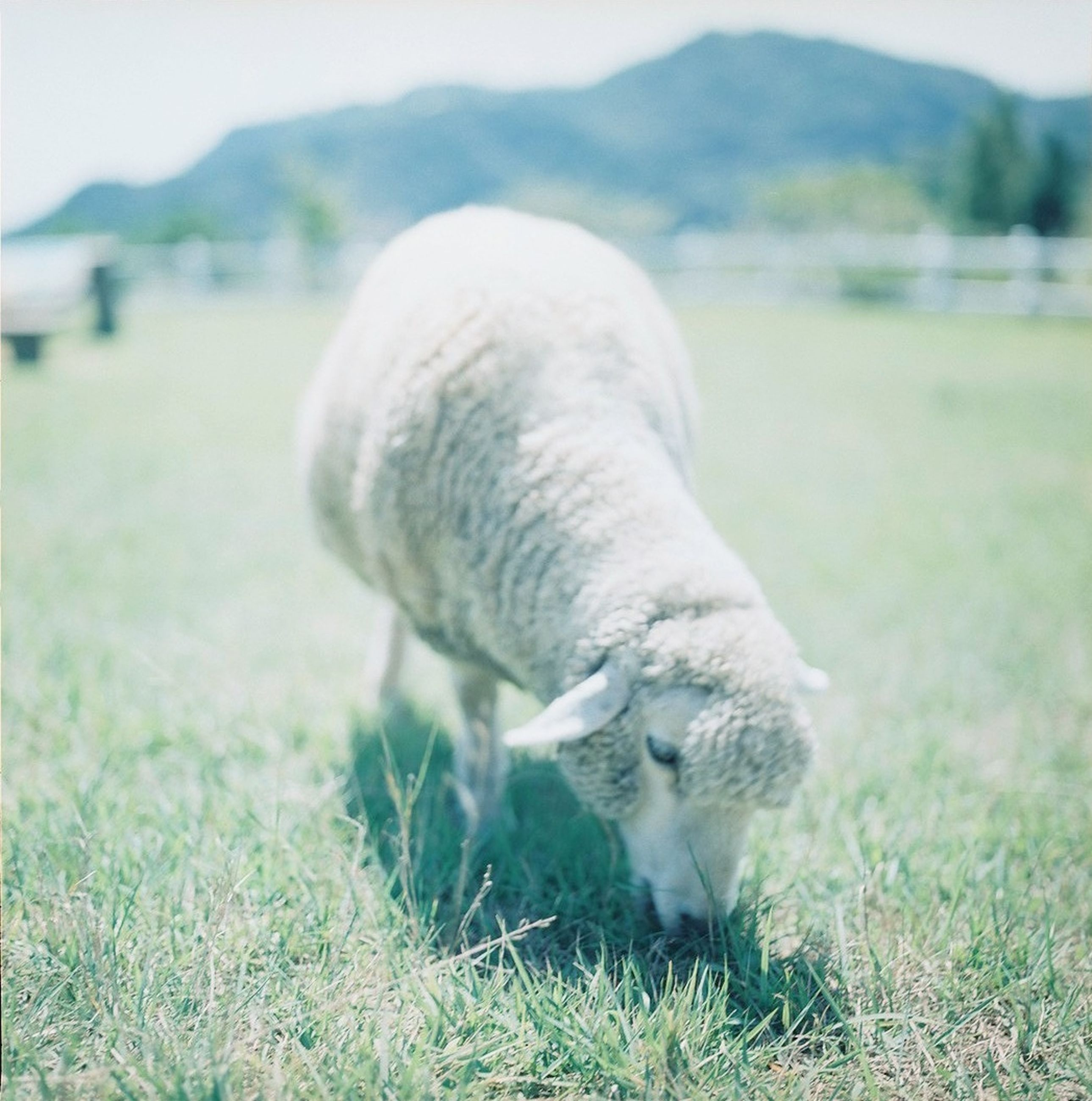 animal themes, grass, field, animals in the wild, sheep, wildlife, focus on foreground, one animal, grassy, mammal, nature, two animals, white color, livestock, close-up, side view, outdoors, young animal, day, relaxation