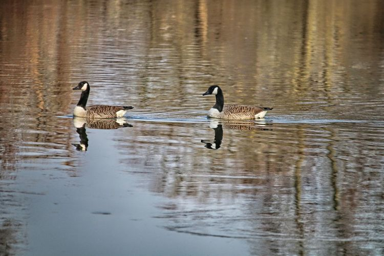 Nature Swimming Water Bird Outdoors Reflection Waterfront Water Animal Wildlife Animal Themes Animals In The Wild Bird Goose Idyllic Harmony Relaxing Moments Relaxing Time Calmness Calm Water Reflections Togetherness Nature Photography Animal Photography Birds Of EyeEm  Bird Watching Bird Photography