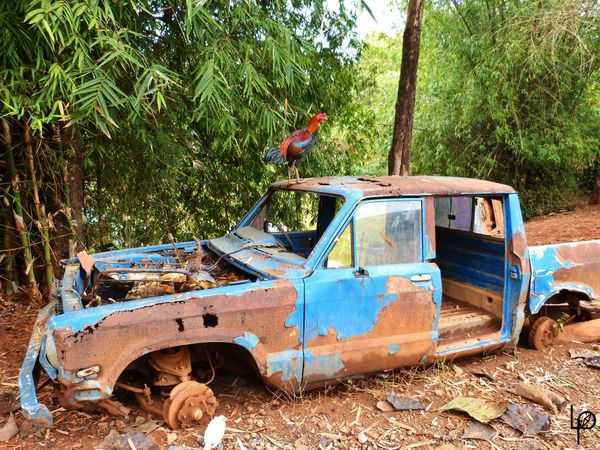 Abandoned Asie Coq Damaged Day Land Vehicle Nature No People Outdoors Rouille Transportation Tree Voiture Wild Wildlife épave
