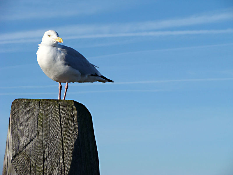 Lachmöwe Animal Themes Animal Wildlife Animals In The Wild Beach Beauty In Nature Bird Close-up Day Nature No People One Animal Outdoors Perching Sea Seagull Sky