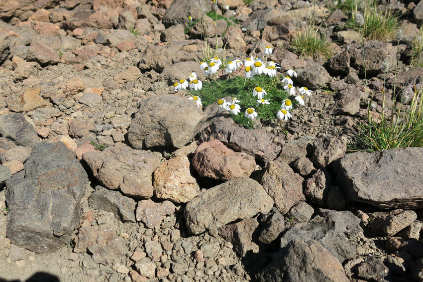 Aragat Armenia September Beauty In Nature Close-up Day Field Flower Flower Head Flowering Plant Fragility Growth High Angle View Inflorescence Mount Aragat Nature No People Outdoors Plant Rock Rock - Object Solid Travel Destination Vulnerability  W-armenien