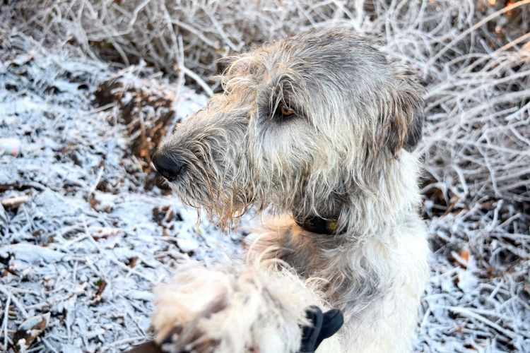 Animal Themes One Animal Cold Temperature Winter Snow Outdoors The Places ı've Been Today How's The Weather Today? How's The Weather Today It Is Cold Outside December 2016 Dog Of The Year 2016 Dogs Of Winter Dog Of The Day Dogwalk Dogs Of EyeEm Irish Wolfhound Cearnaigh Dogslife White Color Domestic Animals Dog Pets Autumn 2016 Showcase December
