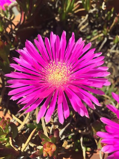 Flower Purple Petal Plant Pink Color Fragility Nature Beauty In Nature Growth Freshness Flower Head Day Outdoors No People Pollen Blooming Close-up Eastern Purple Coneflower Osteospermum