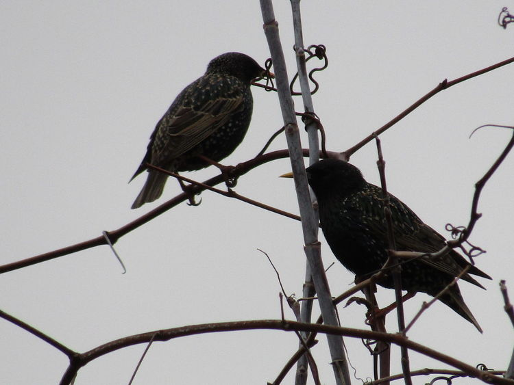 Bird Birds Birds On Branches Bird Photography Starling Starlings Starlings In A Tree Wildlife Wildlife & Nature Wildlife Photography Nature Nature Photography