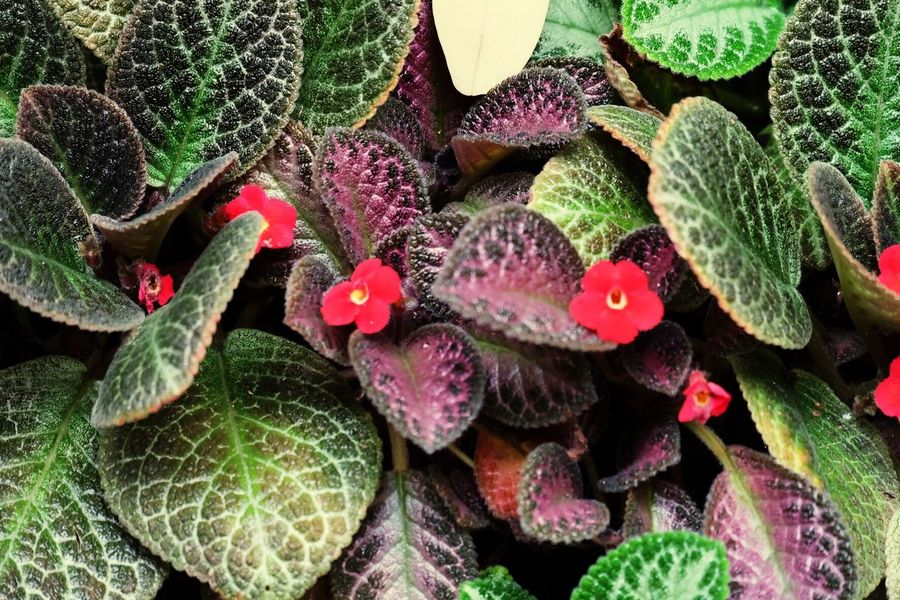 Leaf Growth Plant Green Color High Angle View Outdoors Close-up Nature Beauty In Nature F1.2 Flower Red Small Flower Bright Red Garden Garden Flowers Colorful
