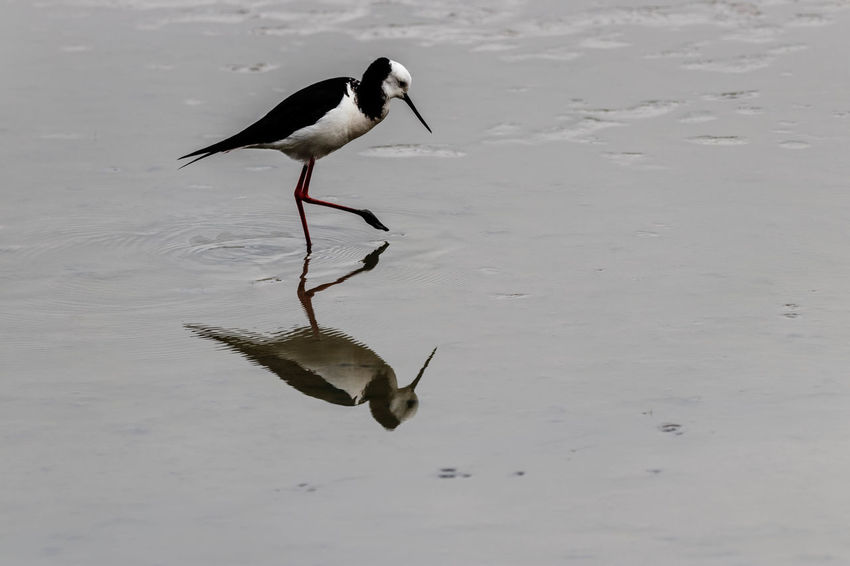 The pied stilt is a medium-large wader with very long pink legs and a long, fine, black bill. The body is mainly white with black back and wings, and black on the back of the head and neck. In flight the white body and black on the back of the neck are conspicuous. The underside of the wings is black, and the long pink legs trailing behind are diagnostic. http://www.nzbirdsonline.org.nz/species/pied-stilt Animals In The Wild Water Bird Nature Beauty In Nature Wading Pied Stilt EyeEm Nature Lover Waikouaiti New Zealand