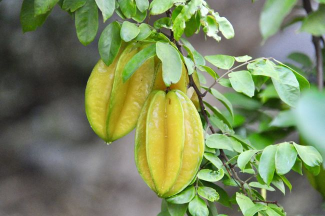 Fresh fruit hanging outside our door Beauty In Nature Close-up Food Food And Drink Green Color Growth Leaf Nature No People Outdoors Plant Star Fruit  Star Fruit  Star Fruits Tree Tropical Fruit Yellow Color Yellow Fruit