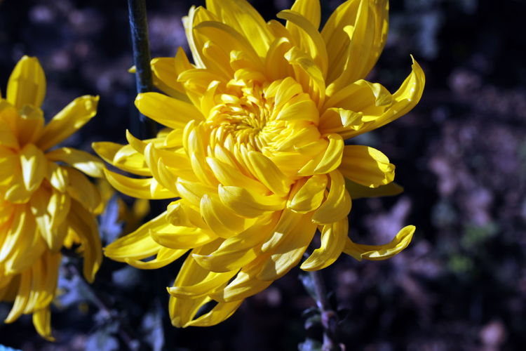 Close-up of yellow chrysanthemums