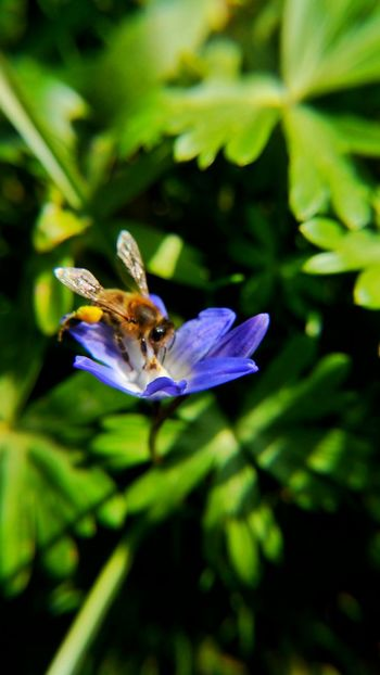 Animal Themes Beauty In Nature Bee Biene Blooming Blue Close-up Day Dortmund Flower Focus On Foreground Fragility Freshness Green Color Growth Insect Nature Petal Plant Pollination Purple Rombergpark Scilla Selective Focus Skilla