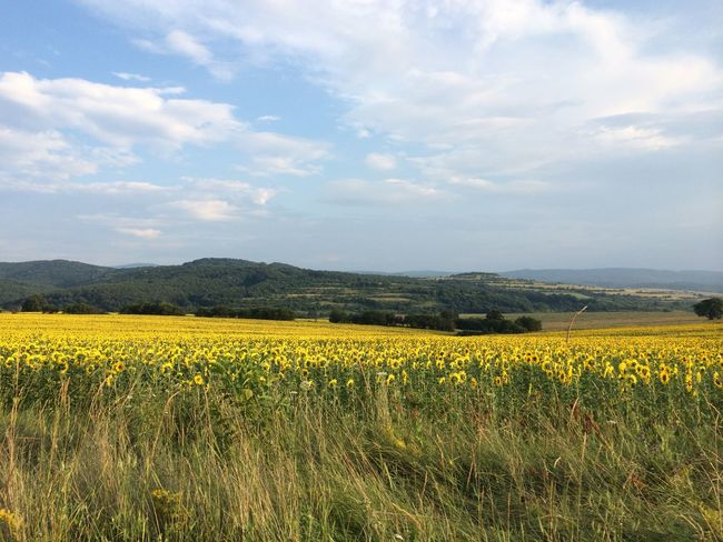 Abundance Agriculture Beauty In Nature Crop  Cultivated Land Farm Field Flower Freshness Growth Landscape Nature Oilseed Rape Rural Scene Scenics Sky Sunflower Tranquil Scene Tranquility Yellow