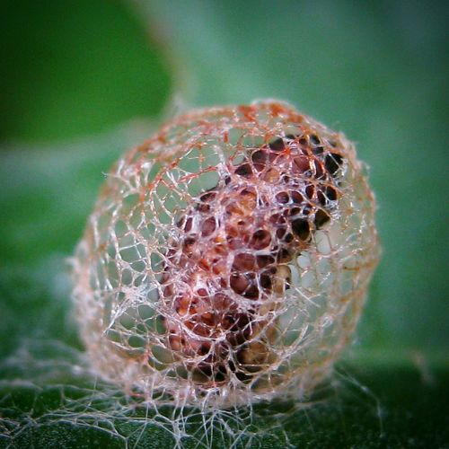 Nature No People Beauty In Nature Outdoors Day Close-up Insect Insect Photography Insect_perfectionInteresting Macro_collection Macro Beauty Macro Nature Whatisit Moth? Pupa Larvae Larva Macro Creepy Crawly Animal Wildlife