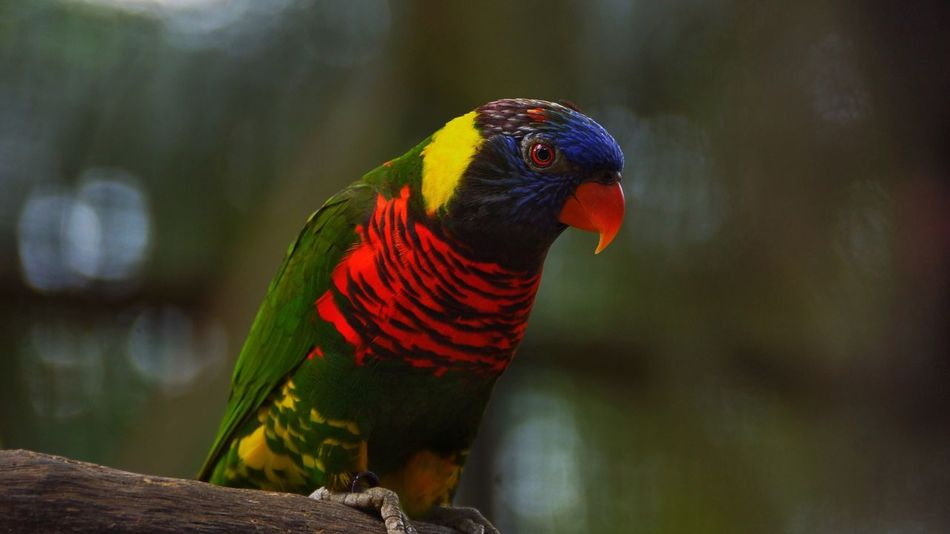 Animal Themes Animals In The Wild Animal Wildlife Rainbow Lorikeet One Animal Bird Focus On Foreground Nature Perching Day Multi Colored Outdoors Close-up Beauty In Nature No People Parrot Lory Lorries Rainbow Lorikeets Lorikeet