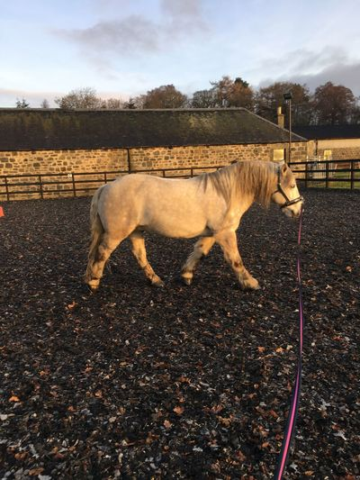 Wee workout for Vrackie Horse Highland Pony Domestic Animals Animal Themes Mammal One Animal Livestock Standing