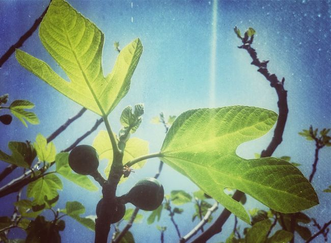 Nature Fruits Flowers Light And Shadow Plants And Flowers Fichi Sicily My Elios Garden