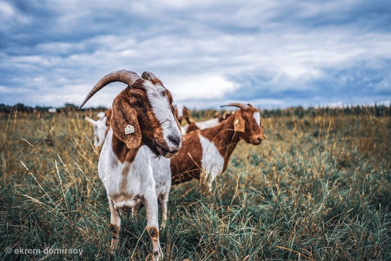 Animal Domestic Animals Cloud - Sky Animal Themes Field Sky Nature Group Of Animals No People Grass Land Animal Wildlife Landscape