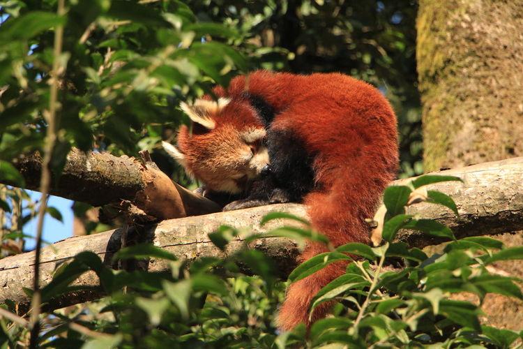 Red panda in wild