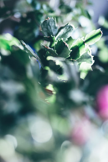 Beauty In Nature Blumenladen Bokeh Cactus Cactus Collection Cactus Flower Christmas Cactus Close-up Day Flowers Flowershop Fragility Freshness Green Bokeh Green Color Green Flower Growth Kakteen Kaktus Nature No People Outdoors Weihnachtskaktus