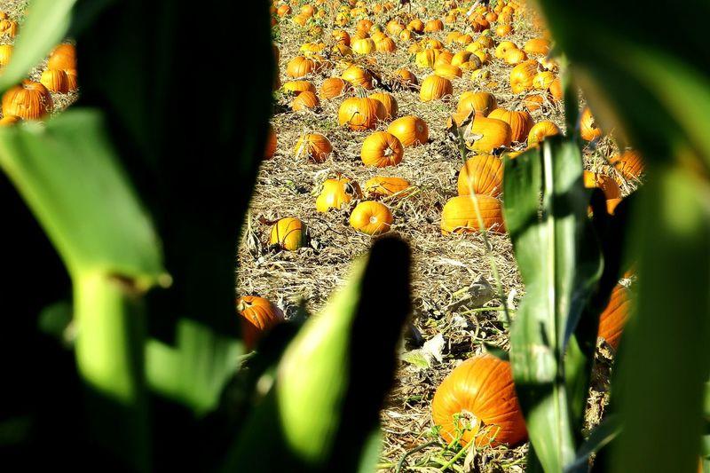 Cornstalks, Pumpkins Fall Pumpkins
