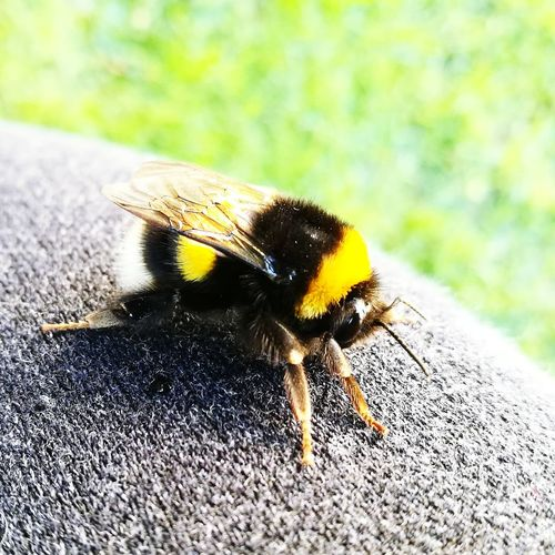Focus EyeEm Selects Garden Nature Bee Yellow Insect Close-up Animal Themes