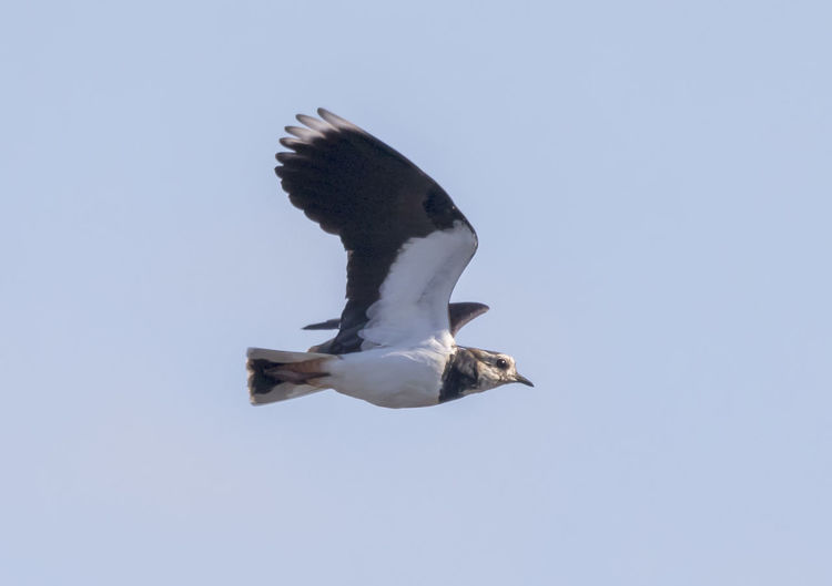 Lapwing in