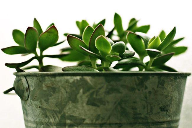 Succulents The Purist (no Edit, No Filter) Eye4photography  Plants 🌱 Green Green Green!  EyeEm Gallery Fleshyplants Colors Enjoying Life Relaxing