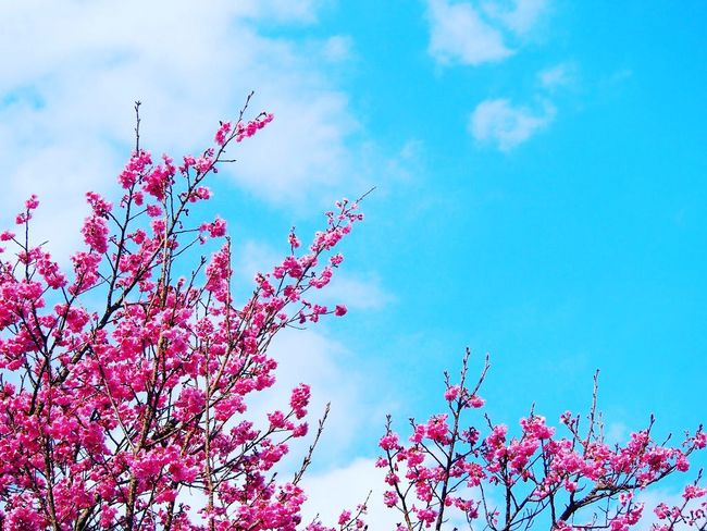 繋がってる同じ空… イマソラ 空 Sky サクラ 桜🌸 Flower Collection Flower Pink Flower Spring Springtime Nature EyeEm Nature Lover Blossom Taking Photos EyeEm Best Shots My Point Of View