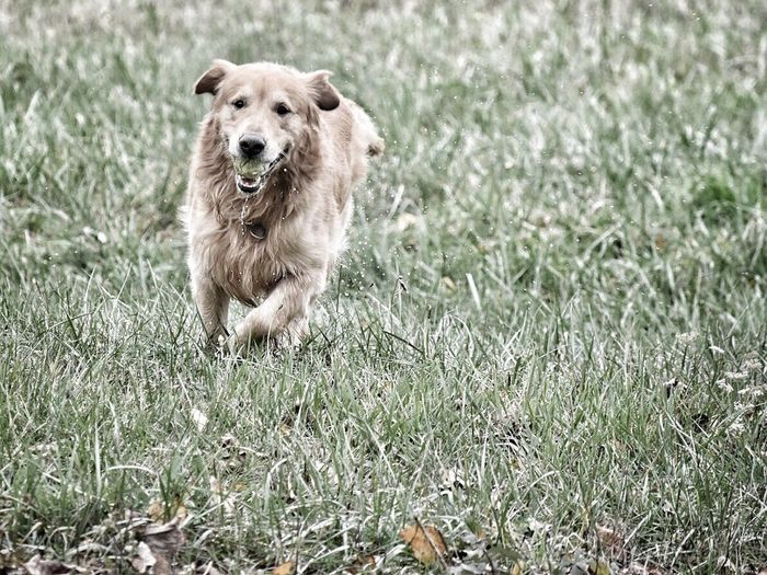 Grass Dog One Animal Pets Domestic Animals Growth Animal Themes Mammal Golden Retriever Nature Retriever No People Outdoors Day Golden Retriever Field Playing Grass