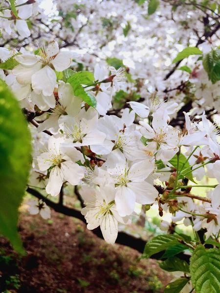 벚꽃.사쿠라 Flower Springtime Blossom Cherry Tree Sakura 사쿠라 벚꽃 벚꽃놀이 벚꽃나무 벚꽃만개 꽃스타그램 꽃 이쁨 일상 아름다움 Beautiful Daily Life Daily Life