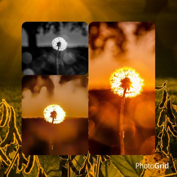 I cant decided which dandelion shot I like so.....heres 3 different edits Dandelion Fragility Nikon Photography Lense Flare Beauty In Nature Nikon D7000 Ontario, Canada Canada Coast To Coast London Ontario Outdoor Photography Close-up Nature Outdoors Field Tranquility Nikon Life Rural Scene Sunset Non-urban Scene Defocus Sunbeam Orange Color Back Lit