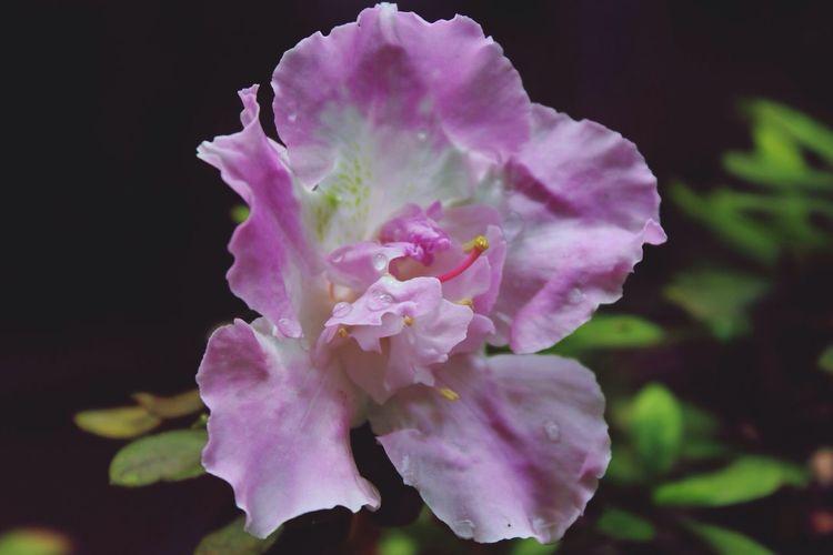 Filter U2 Flower Petal Fragility Pink Color Selective Focus Single Flower Colombia Gotas De Lluvia