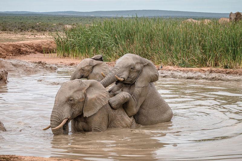 Elephant in a lake