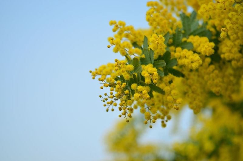 Close-up of yellow flowers against clear sky