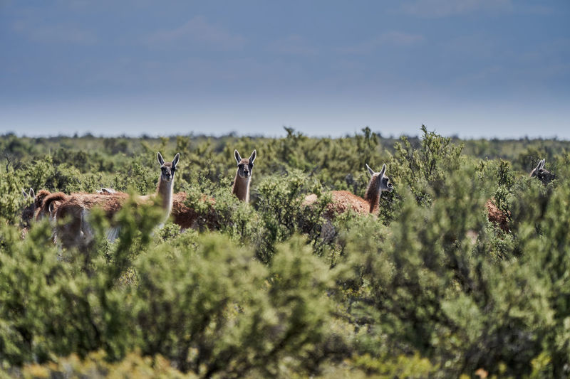 Lama guanicoe, herd of guanaco standing in dense green bushes of the peninsula vlades in argentina