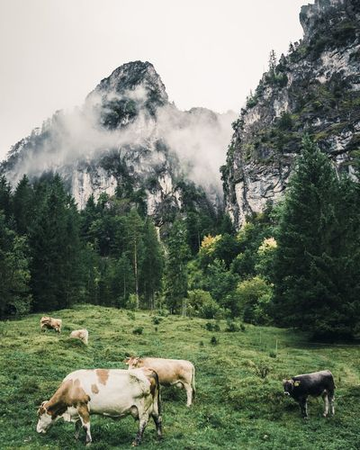 Cows grazing in a field with mountains on background.