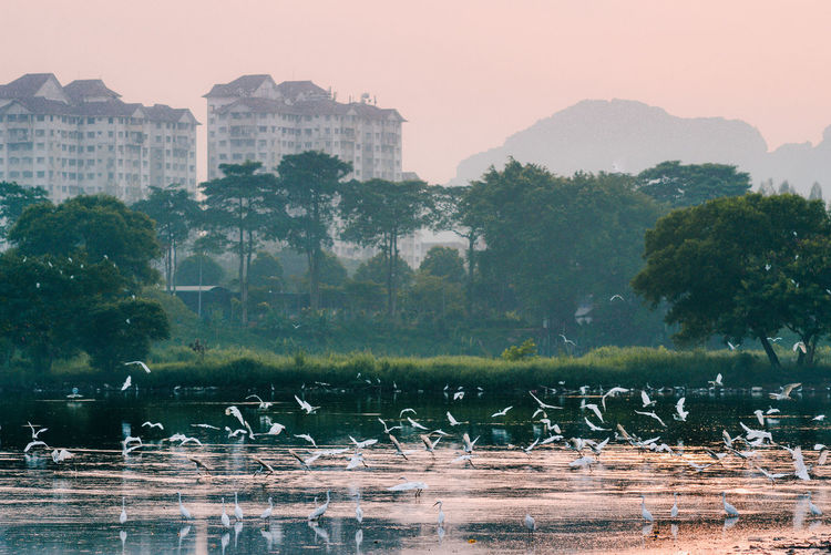 View of birds flocking the lake with buildings in background