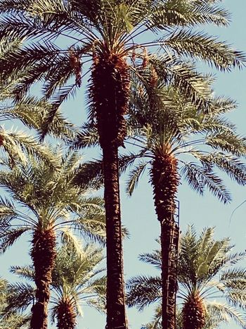 Date palms in Desert Springs Palm Tree Low Angle View Tree Nature Growth Beauty In Nature No People Tree Trunk Sky Outdoors Scenics Day Date Palms