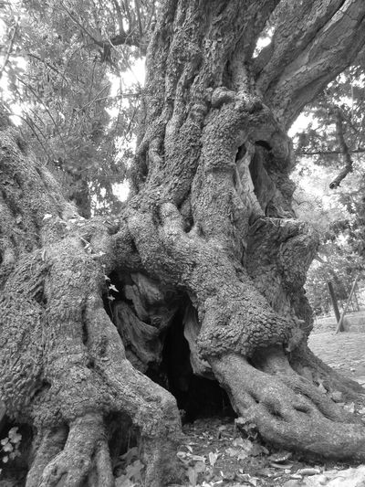 Ancient B&w B&W Collection B&W Collections B&w Nature B&W Obsession B&w Photo B&w Photography B&W_collection Geology Geometry Hole Holes Lair Natures B&w Old Olive Olive Tree Olives Rough Textured  Tree Tree Hole TreePorn Treescollection