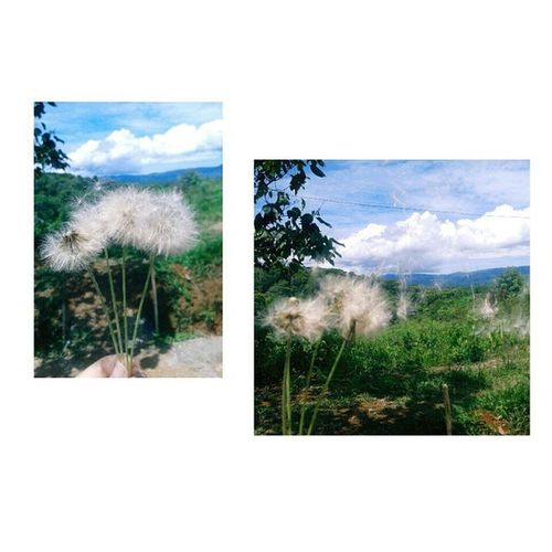 Dientes de león 🐯🍃🍂 Viewmysunset Flowers Natural Dandelion