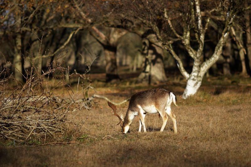 Autumn Stag Buck Deer Dunes Of Holland Animal Animal Themes Mammal Animal Wildlife One Animal Animals In The Wild Tree