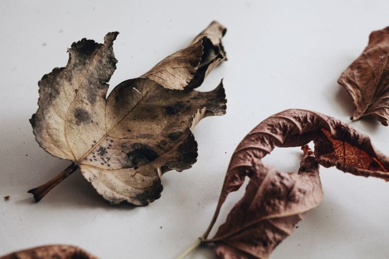 Dry Leaf White Background Fragility Autumn Change No People Close-up Nature Dried Plant Wilted Plant Day Flower Indoors  Flower Head Fall Colors Fall Autumn🍁🍁🍁 Autumn Leaves Autumn Colors Autumn