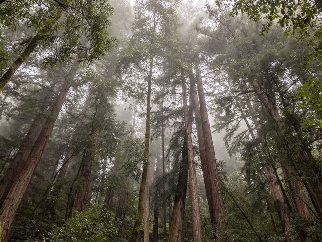 Muir Woods National Monument. California, USA. Photo by Tom Bland. Beauty In Nature California Forest Growth IPhone IPhoneography Landscape Magical Muir Woods Nature No People Outdoors Quiet Redwood Redwood Trees Redwoods Rural Tranquility Trees WoodLand Woods Misty Mist Fog