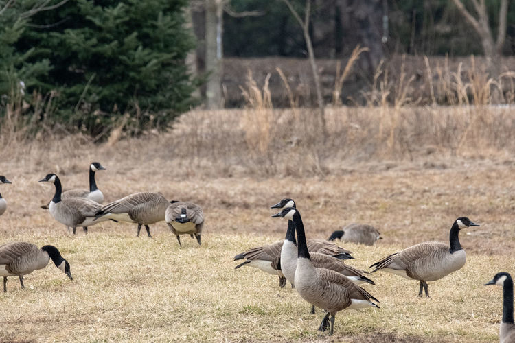 Canadian geese invading the area. Animals In The Wild Animal Wildlife Group Of Animals Animal Themes Vertebrate Animal Bird Field Land Goose Large Group Of Animals Canada Goose No People Nature Focus On Foreground Day Grass Outdoors Flock Of Birds Gosling Canadian Geese Ohio Plant