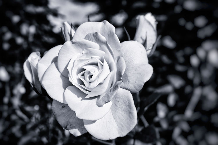 Beauty In Nature Being Creative Close-up Extreme Edit EyeEm Best Edits EyeEm Best Shots EyeEm Best Shots - Flowers Flower Flower Head Focus On Foreground Fragility Freshness Monochrome My Art, My Soul... My Unique Style Nik Collection Rose - Flower Selective Focus Softness Sony ILCA-68K Taking Photos