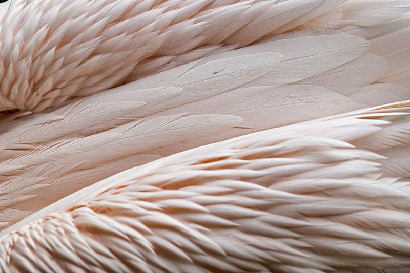 Full frame shot of feathers on flamingo