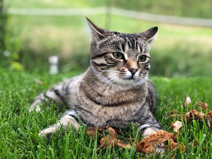 Portrait of tabby cat on field