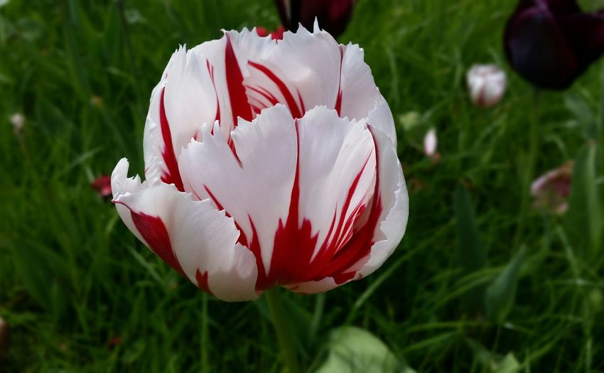Tulip Red And
