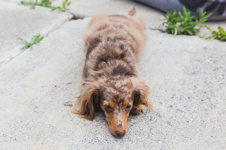 Dapple dachshund laying down outside. Cute Pets Animal Animal Themes Canine Cute Cute Dog  Dachshund Day Dog Domestic Domestic Animals Focus On Foreground Footpath High Angle View Lying Down Mammal Nature No People One Animal Outdoors Pets Portrait Relaxation Vertebrate